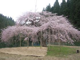 しだれ桜設楽.jpg